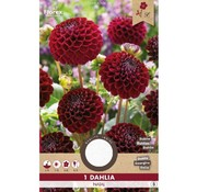 Florex Dahlia Pompon Natal Red 1 pc.
