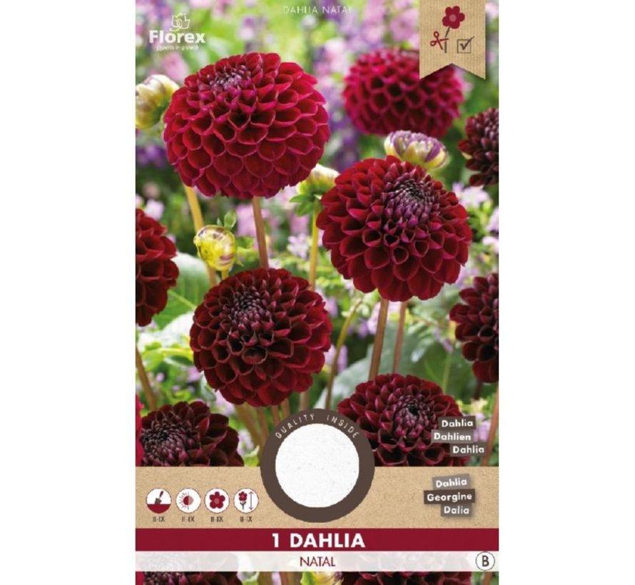 Dahlia Pompon Natal Rood 1 stuk