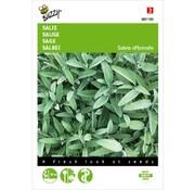 Buzzy Salvia
