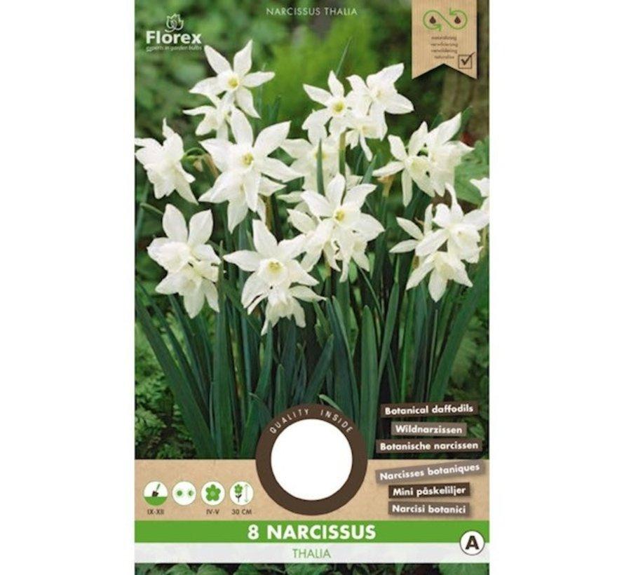 Florex Daffodil Thalia Botanical White Flower Bulbs 8 pcs.