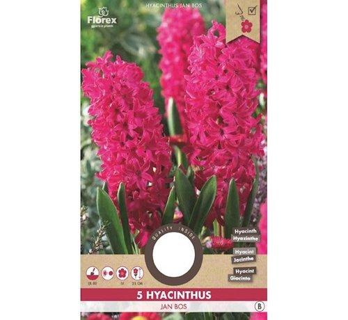 Florex Hyacinth Jan Bos Red Flower Bulbs 5 pcs.