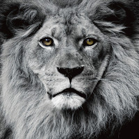 The Lion King Black White Digitalprint 80x80cm Safety Glass