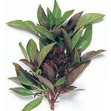 Basilicum thaise 20 gr
