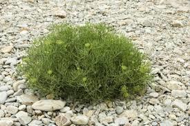 Claessens Sea fennel pr schaaltje (zeevenkel)