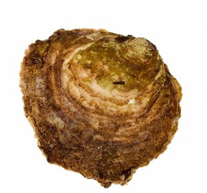 Platte Zeeuwse oesters uit het Grevelingen meer