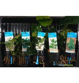 Anubias Aquariumplanten Mix