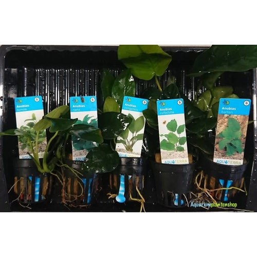 Anubias Aquariumplanten Mix