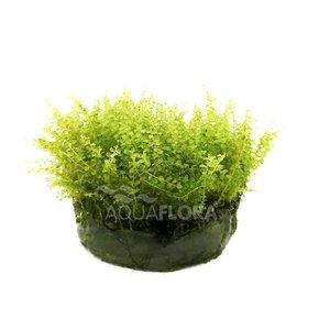 Ecoscape Plagiomnium Affine - In Vitro