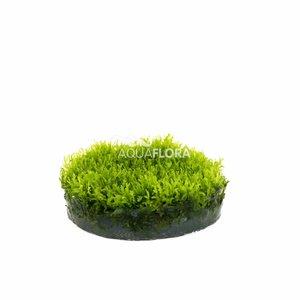 Riccardia Chamedryfolia Coral Moss - In Vitro