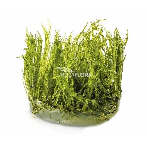 Taxiphyllum Alternans Taiwan Mos - In Vitro