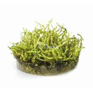 Ecoscape Vesicularia Christmas Mos - In Vitro
