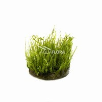 Vesicularia Species Creeping Moss - In Vitro