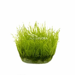 Ecoscape Leptodictyum Riparium Stringy Moss - In Vitro