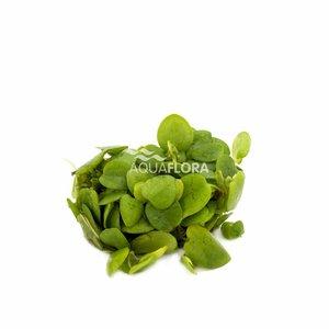 Limnobium Laevifolium - In Vitro