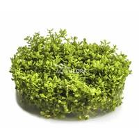 Micranthemum Micranthemoides - In Vitro