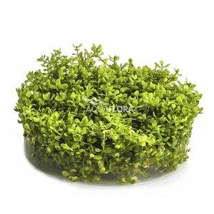 Ecoscape Micranthemum Micranthemoides - In Vitro