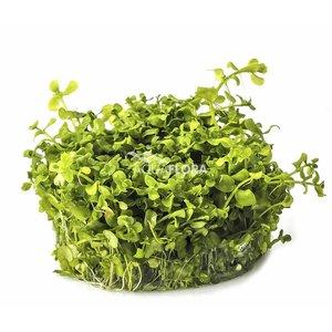 Micranthemum sp. 'Montecarlo' - In Vitro