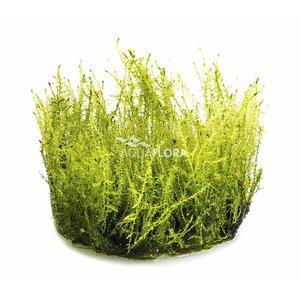 Ecoscape Amblystegium Serpens - In Vitro