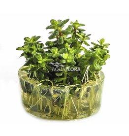 Ammannia sp. 'Bonsai' - In Vitro