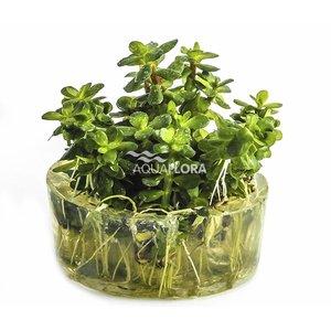 Ecoscape Rotala Indica - In Vitro