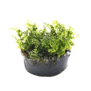 Ecoscape Bolbitis Heteroclita Difformis - In Vitro