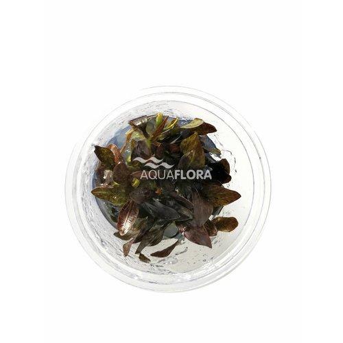 Echinodorus Reni - In Vitro
