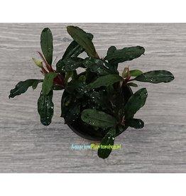 Bucephalandra Lamandau 'Mini Red'
