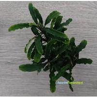 Bucephalandra Motleyani 'Melawi'