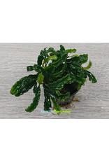 Bucephalandra Wavy Green