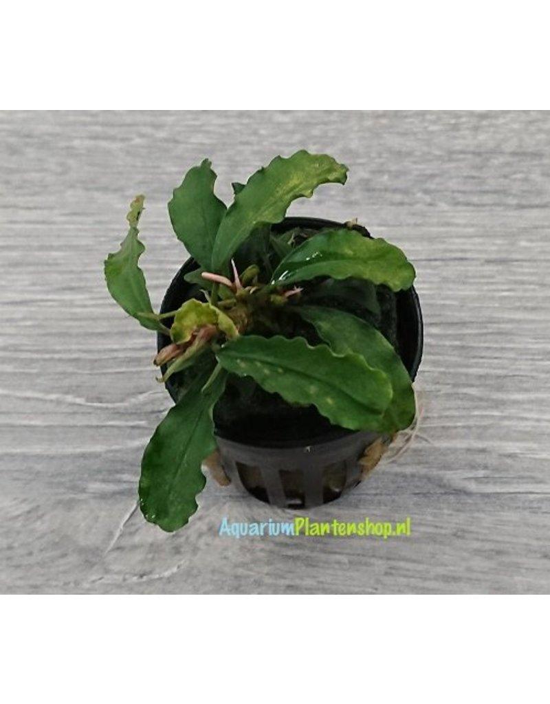 Bucephalandra Crisped Leaves