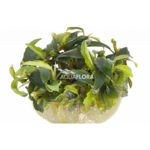 Bucephalandra Wavy Green - In Vitro