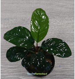 Anubias Coffefolia