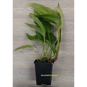 Anubias Heterophylla XL