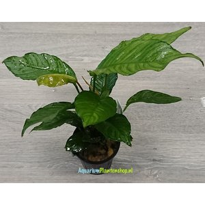 Anubias Mix XL