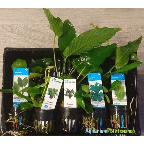 Anubias Restplanten Mix