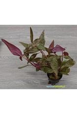 Alternanthera Lilacina