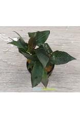 Hygrophila Compacta Mini