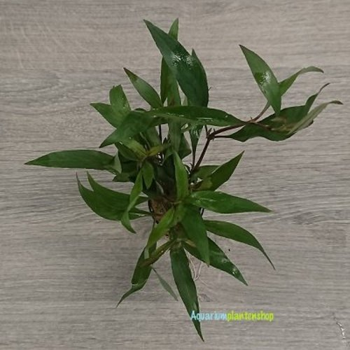Hygrophila Corymbosa Thailand