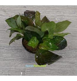 Hygrophila Corymbosa 'Stricta'