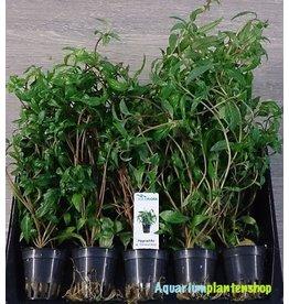 Hygrophila Pantanal Wavy 5x