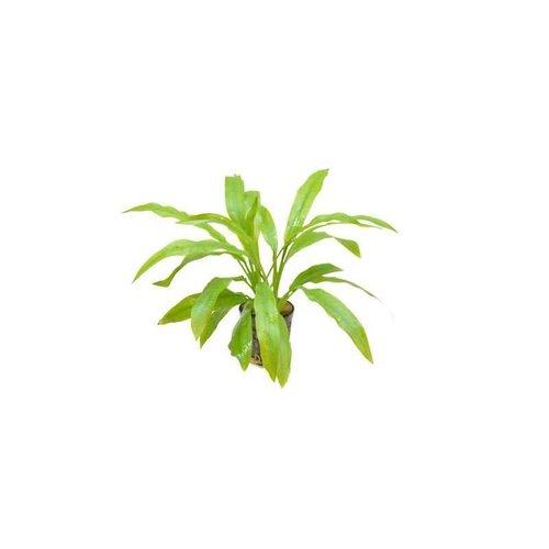 Echinodorus Amazonicus