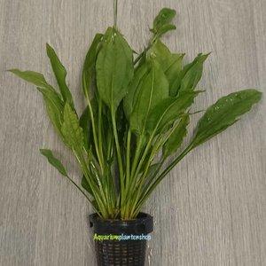Echinodorus Bleheri XL