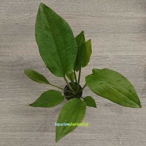 Echinodorus Gabrielii