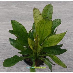 Echinodorus Granat