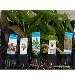 Echinodorus Aquariumplanten Mix