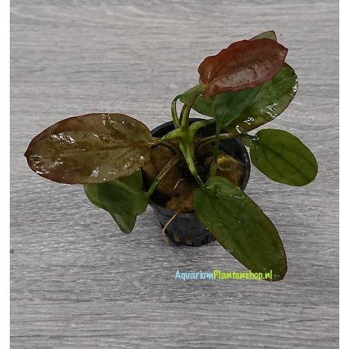 Echinodorus Rubra Osiris