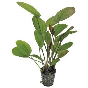 Echinodorus Chrileni