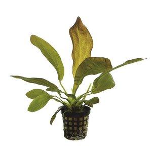 Echinodorus Rubra