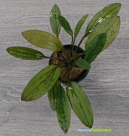 Echinodorus Rosé XL