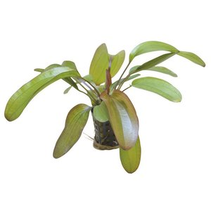 Echinodorus Spectra